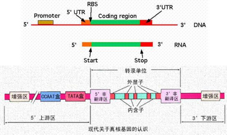 真核生物的基因结构